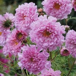 Cosmos b. 'Double Click Rose Bonbon'