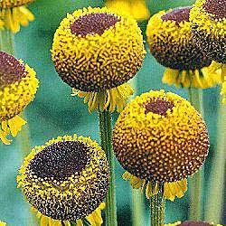 Lollipop Helenium