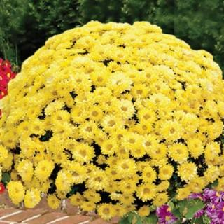 Yellow Quill Hardy Mammoth Mums