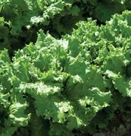 Two Star (OG) (Pelleted) Leaf Lettuce