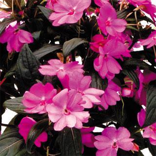 Impatiens Lavender SunPatiens® Annual Plant