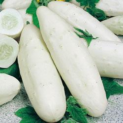 Cucumber Long White