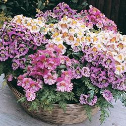 Schizanthus 'Dwarf Bouquet' Mixed