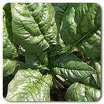 Organic Bloomsdale Longstanding Spinach
