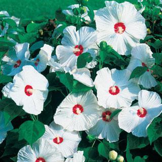 Hibiscus Disco Bell White Hybrid
