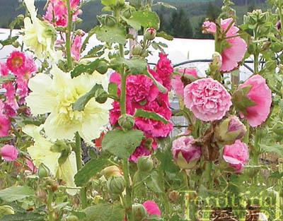 Hollyhock-Summer  Carnival Mix