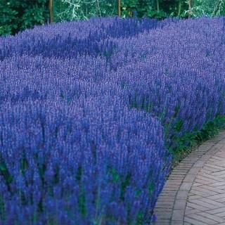 Blue Queen Salvia
