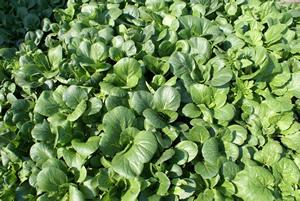 Pak Choi Greens, (Bok Choi), Asian, Organic