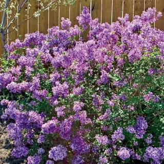Bloomerang™ Reblooming Lilac