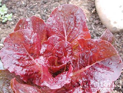 Devils Tongue  Lettuce Organic