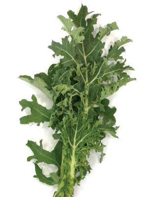 White Russian Kale Organic