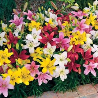 Mixed Carpet Border Lilies