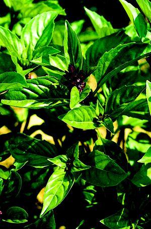 Basil, Cinnamon, Organic