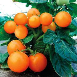 Tomato Venus (Bush/Container)