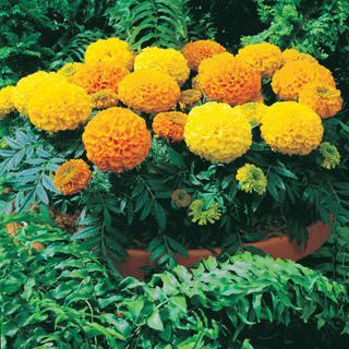 Marigold Antigua Hybrid Mix