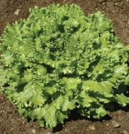 Tropicana (OG) (Pelleted) Leaf Lettuce