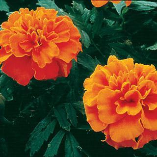 Marigold Janie Deep Orange