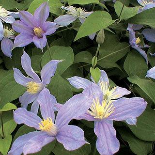 Arabella Clematis Virgin's Bower Plant