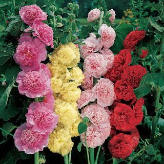 Chater's Double Mix Alcea rosea Hollyhock Plant
