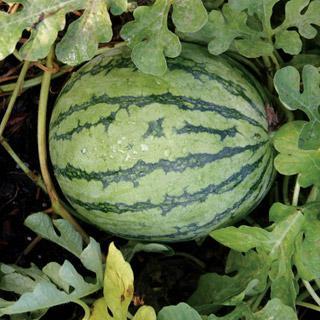 Watermelon Jenny Hybrid