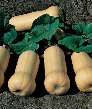 Squash, Waltham Butternut Organic