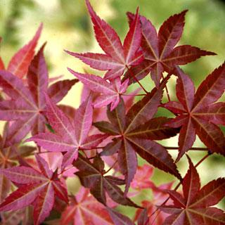 Fairy Hair Acer Palmatum Japanese Maple Tree Reviews