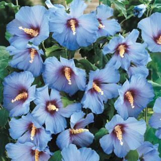 Blue Satin Hibiscus Rose of Sharon Shrub