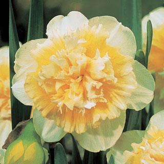 Ice King Daffodil Bulb - Pack of 5