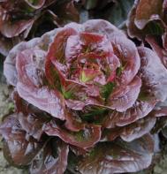 Rhazes (OG) (Pelleted) Bibb Lettuce