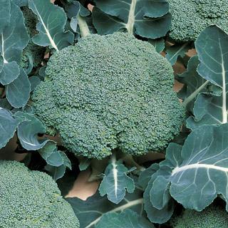 Broccoli Belstar Hybrid Organic