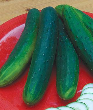 Cucumber, Garden Sweet Burpless Organic