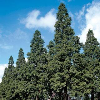 Metasequoia glyptostroboides Dawn Redwood Tree