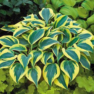 Autumn Frost Hosta Plant