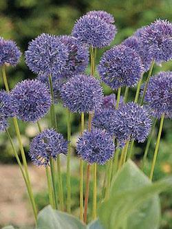 SOLD OUT Caeruleum Allium - 5 bulbs