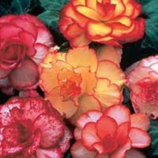 Picotee Begonia Blend