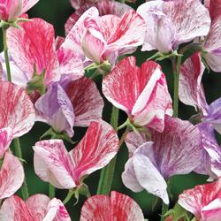 Sweet Pea 'Statesman Mixed'