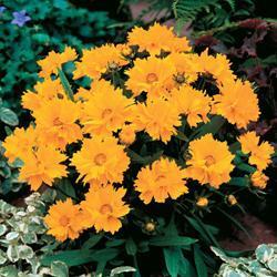 Coreopsis grandiflora 'Presto'