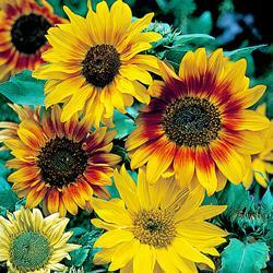 Sunflower annuus 'Autumn Time'