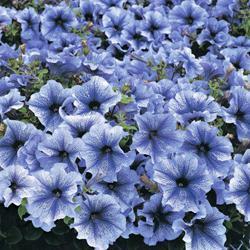 Petunia x hybrida 'Blue Daddy' F1 Hybrid