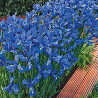 Blue Ocean Dutch Iris Carpet
