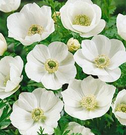 SOLD OUT The Bride Anemone coronaria - 25 bulbs