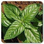 Organic Aroma 2 F1 Hybrid Basil