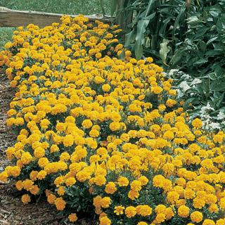 Marigold Janie Primrose Yellow