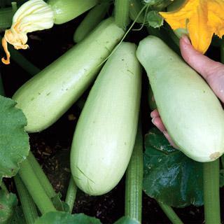 Squash Eastern Delight Hybrid Organic