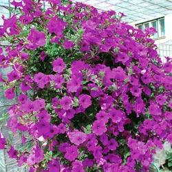 Petunia - Purple Velvet F1 Hybrid