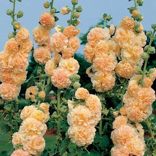 Hollyhock Peaches 'n' Dreams