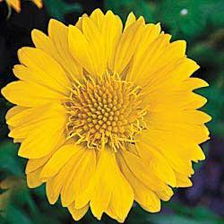 Sunburst Yellow Gaillardia