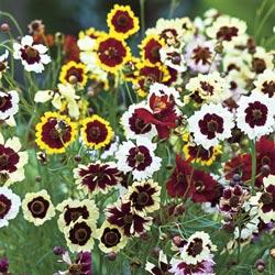 Coreopsis x hybrida 'Incredible!'  (TALL MIX)