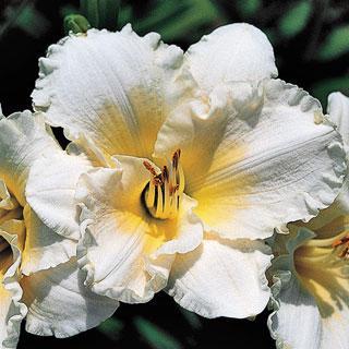 Ruffled Parchment Hemerocallis Daylily Plant