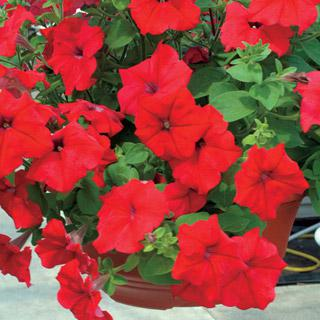 Petunia Park's Whopper Hybrid Red